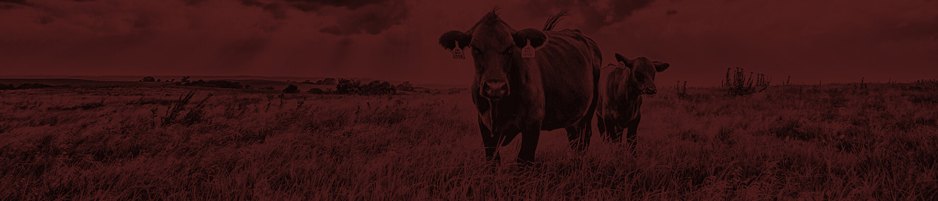 Two bulls standing in a field